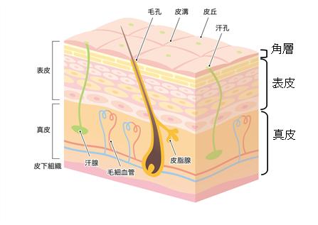 経皮吸収の図解