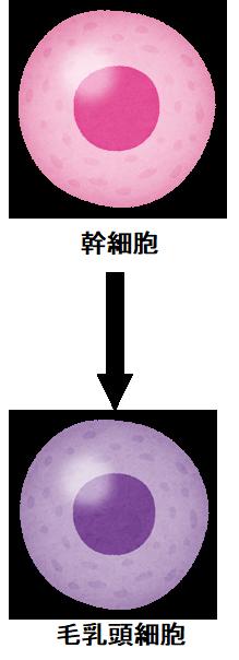 細胞の分化