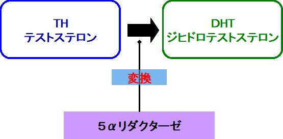 5αリダクターゼの作用
