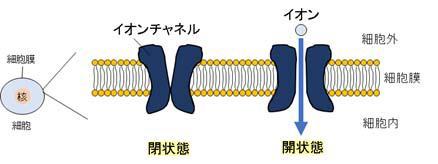 カリウムチャネル